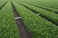 FDA: No spinach farm 'off the hook' yet
