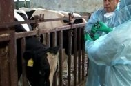 Cattle Quarantined After Run-in with Fracking Fluid