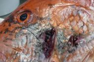 Gulf Seafood to Be Tested for Dispersants