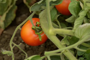 Angry Growers Want Tomato Salmonella Warning Lifted