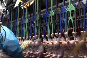 Food Poisoning Outbreaks Linked to Animal Factory Farms