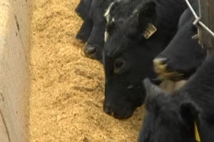 Rise in E. Coli Meat Recalls Might be Linked to Increased Use of Ethanol Byproduct as Cattle Feed