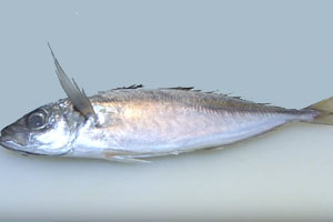 NY Seafood Co. Recalls Boiled Horse Mackerel for Botulism Risk