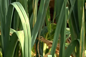 Leeks Recalled Over Listeria Contamination Concerns
