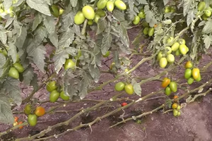 MexicanTomatoes, Some in Florida, Still Not Cleared in Salmonella Outbreak