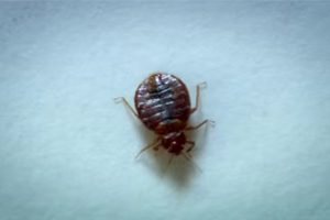 Bed Bug Resurgence An Opportunity for Some