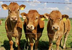 Mad Cow Disease Discovered In California Dairy Cow