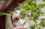 Safety Concerns Arise as Adult-use Marijuana is Legalized in New York